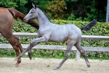Gemiddeld ruim 20.000 euro op Veulenveiling Sentower Park