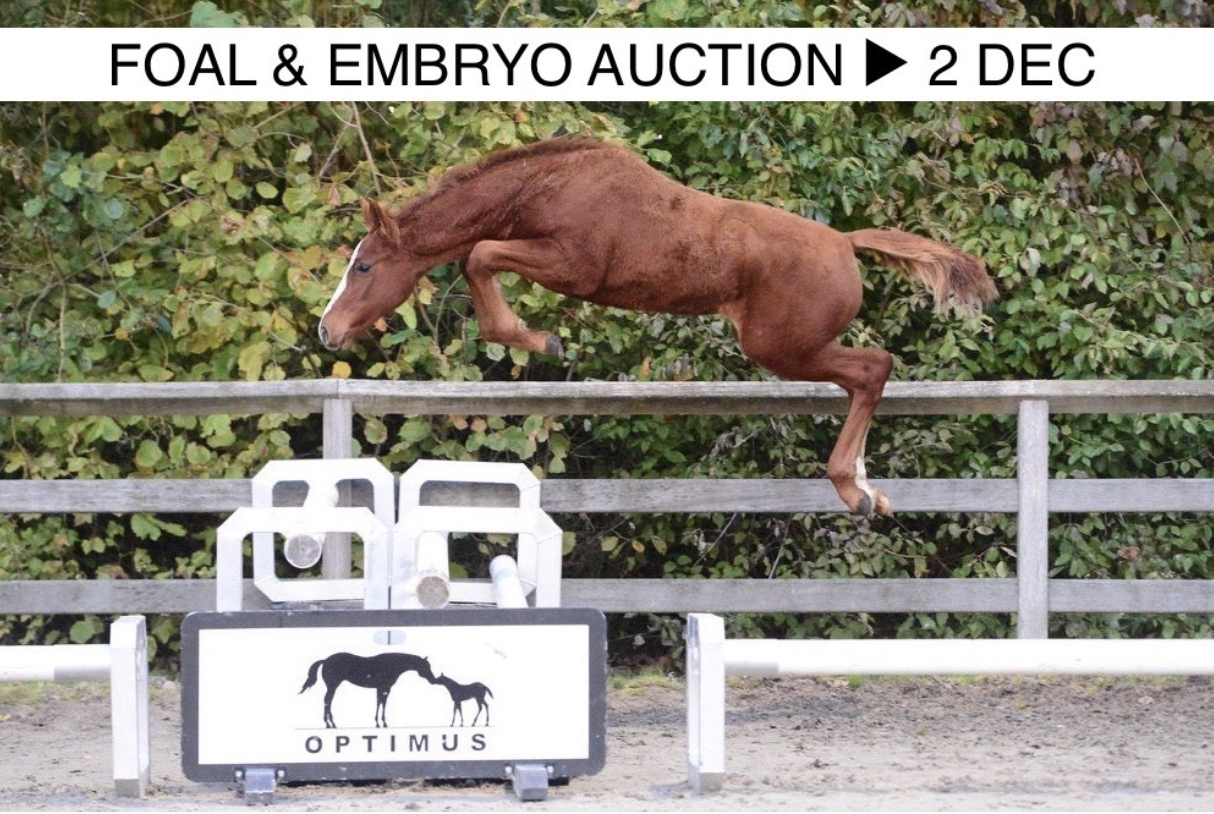 Unique chance to buy a foal or embryo from international performing mares with 5***** genes.
