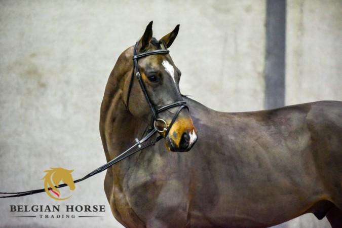 Vandaag Presentatiedag Belgian Horse Trading Auction