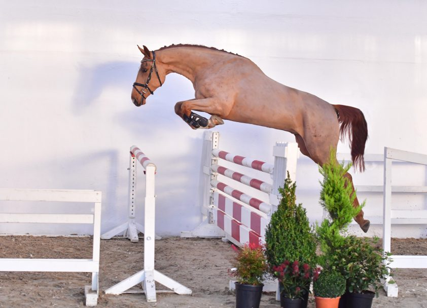 Best sold horse of PS Online Auktion moves to Ireland for 101.000 euro