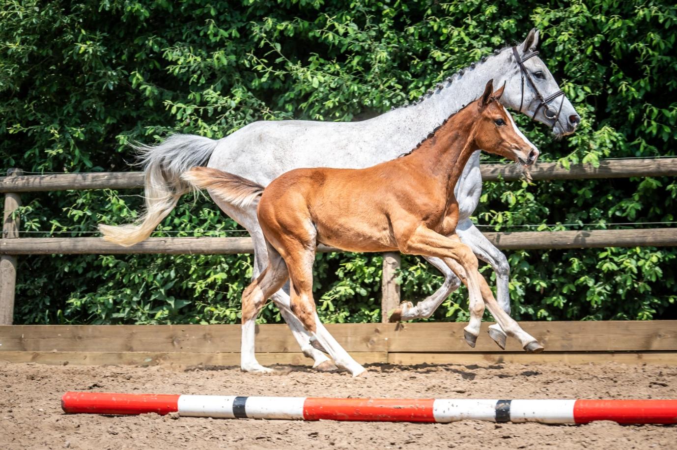 Paardenveilingen Online: veulen & embryo veiling van start!