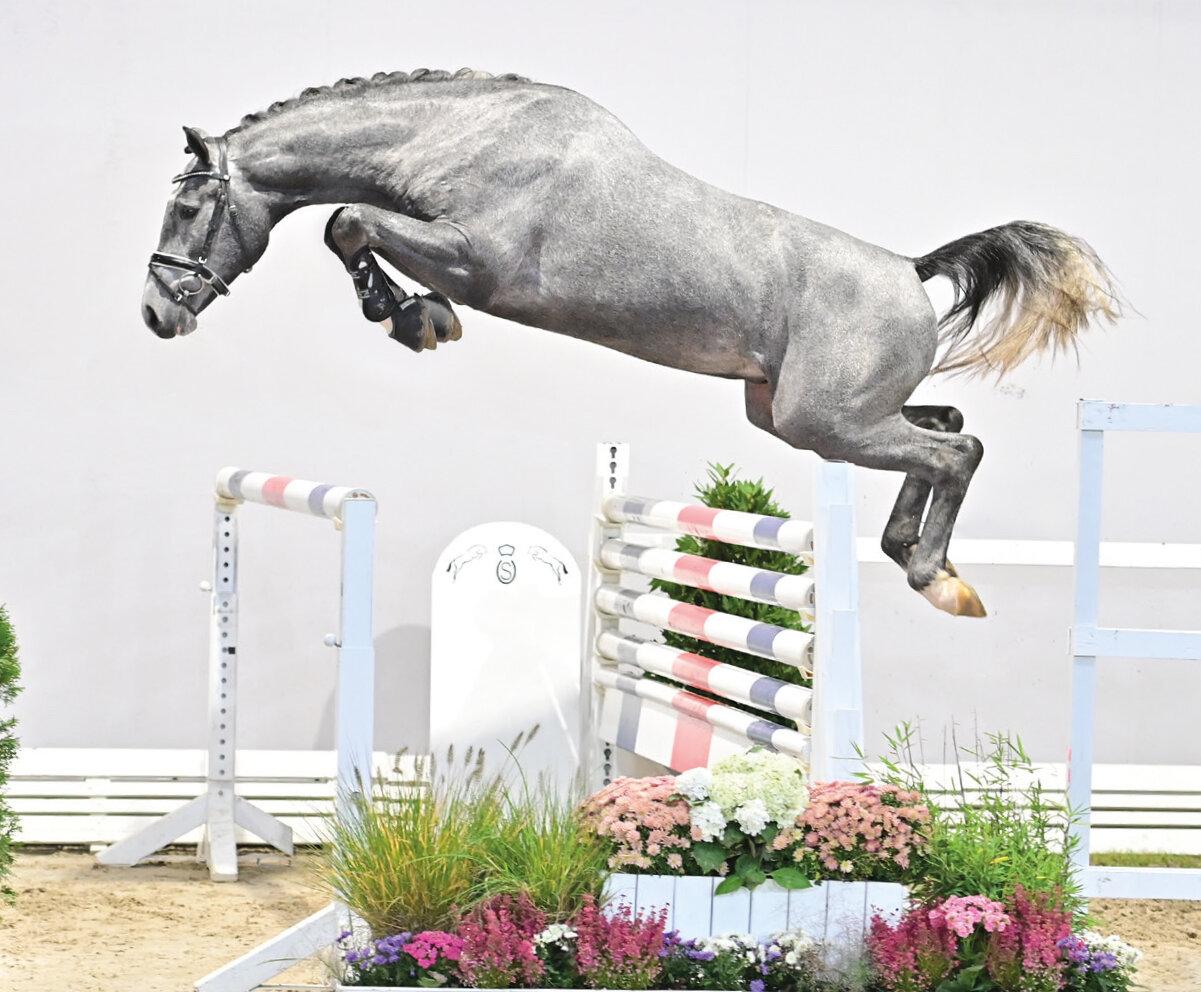 Commil Champ Z voor € 140.000 naar Zangersheide