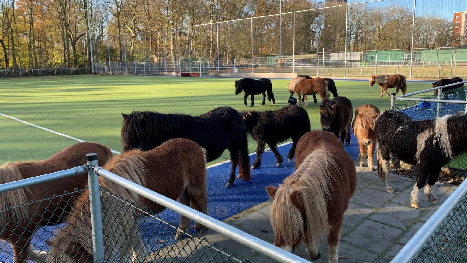 Pony's brengen nacht door op hockeyterrein. Van eigenaar geen spoor