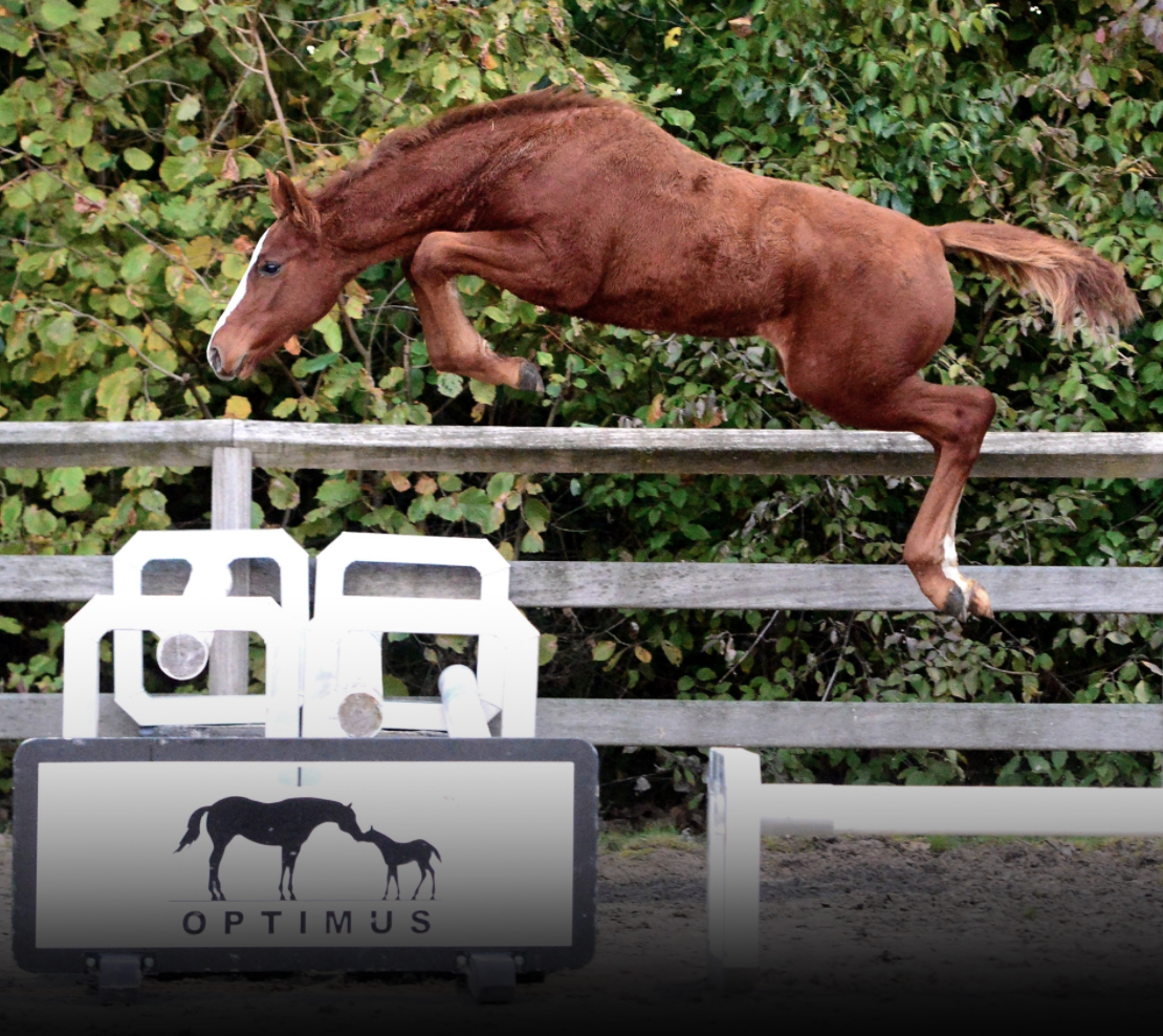 Biddings on the Stal Optimus foal and embryo-auction are open now!