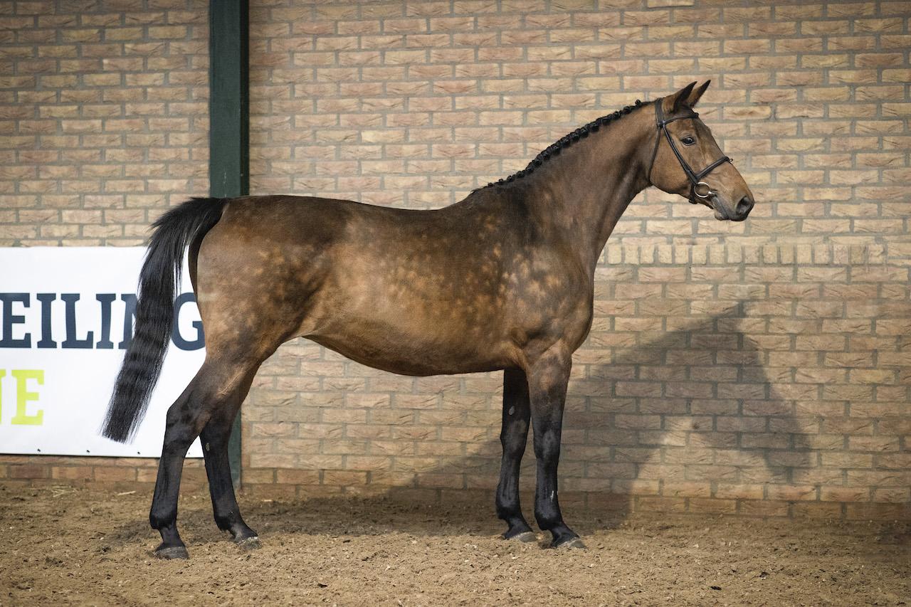 Ingeplante embryo Heartbreaker uit Roosakker lijn verkocht voor €17.500 bij Paardenveilingonline.com
