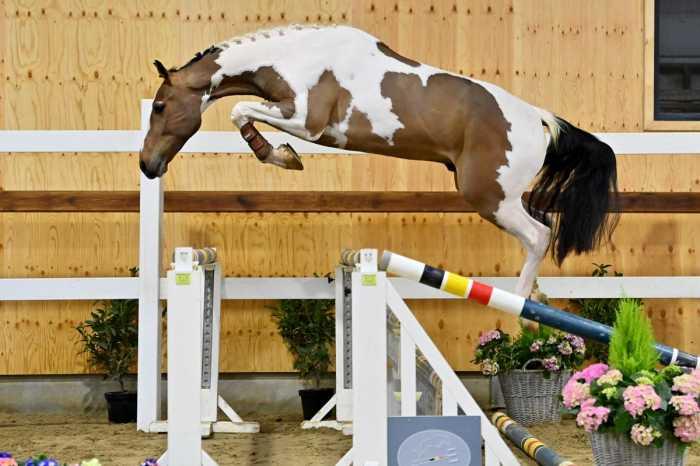 Alvin van de Cumul Z is duurste tijdens Horse Auction Belgium