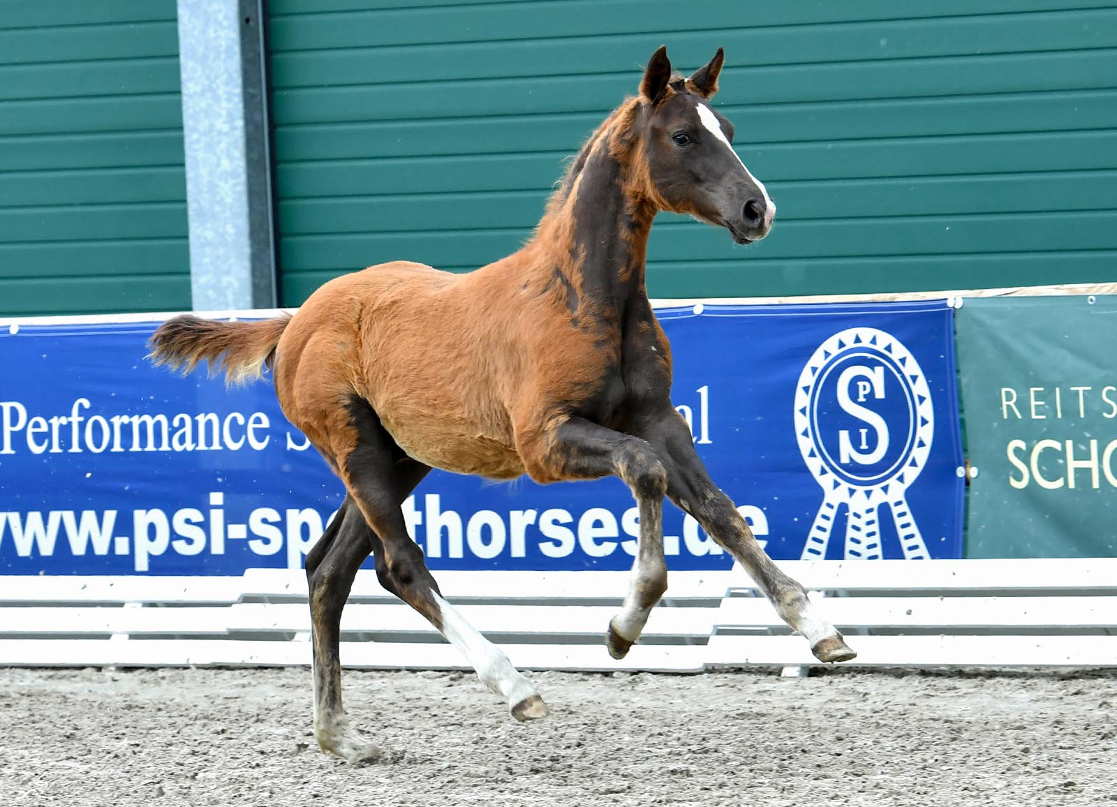 The new auction of Schockemöhle and Helgstrand bundles foals of the highest quality