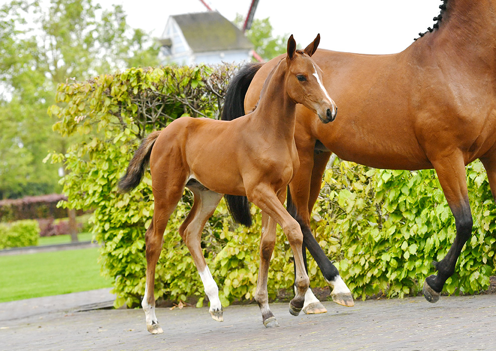 Become the owner of the full brother/sister of Halifax van het Kluizenbos? Equbreeding makes it possible!