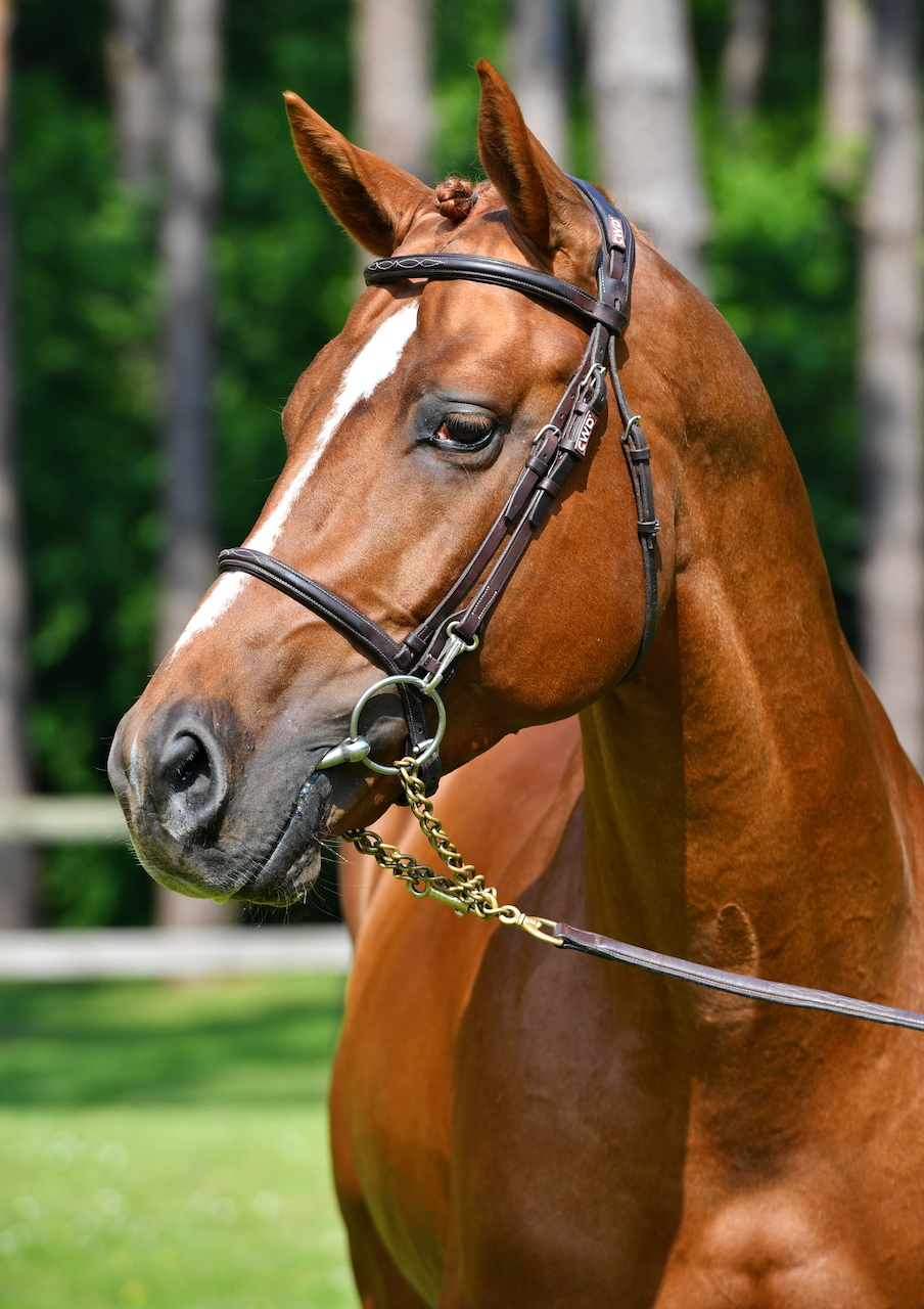 Stallion spotlight: young talent under the saddle of Abdel Said