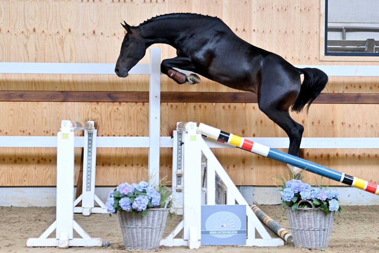 Cornet-Obolensky zoon veilingtopper Horse Auction Belgium
