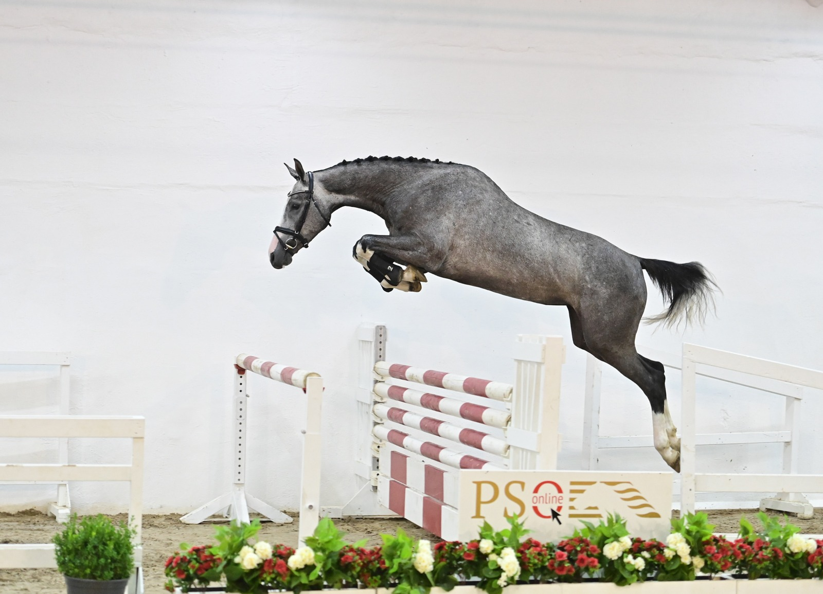 Belgian buyers go wild on PS Online Auction. 125.000 euro for 4-year-old mare Coralie PS
