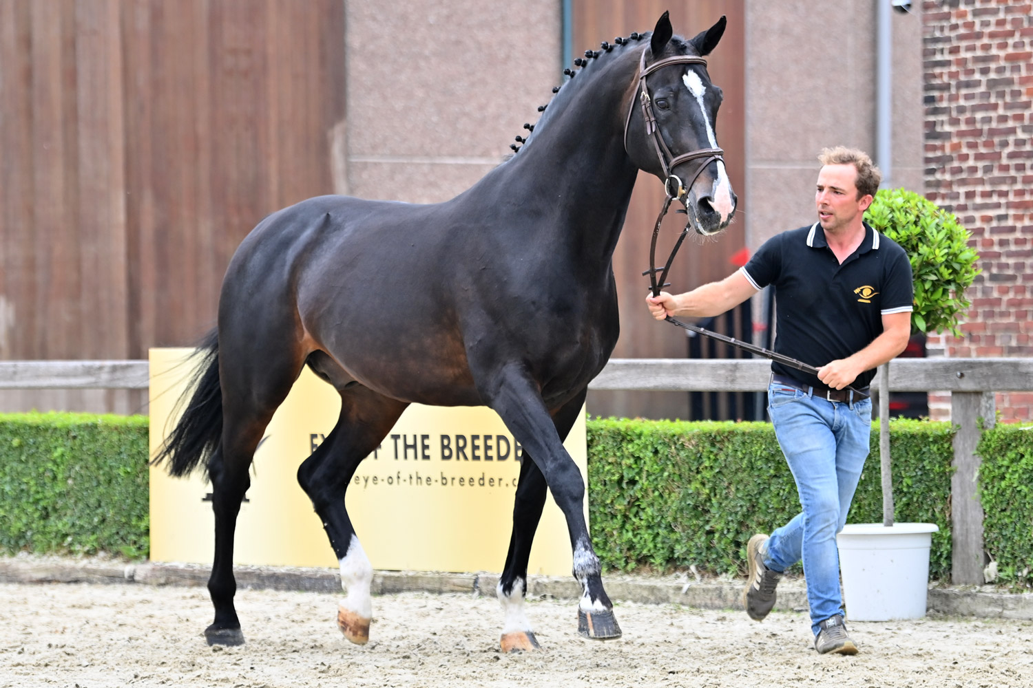 Approved stallion Comme d'Api vd Hacienda to be put on the market via online auction