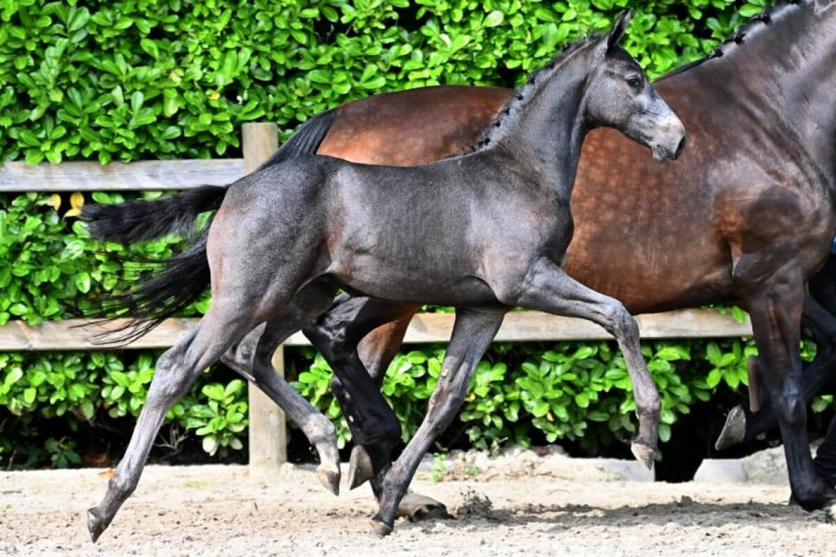 Foal Auction 111 impresses with amazing collection