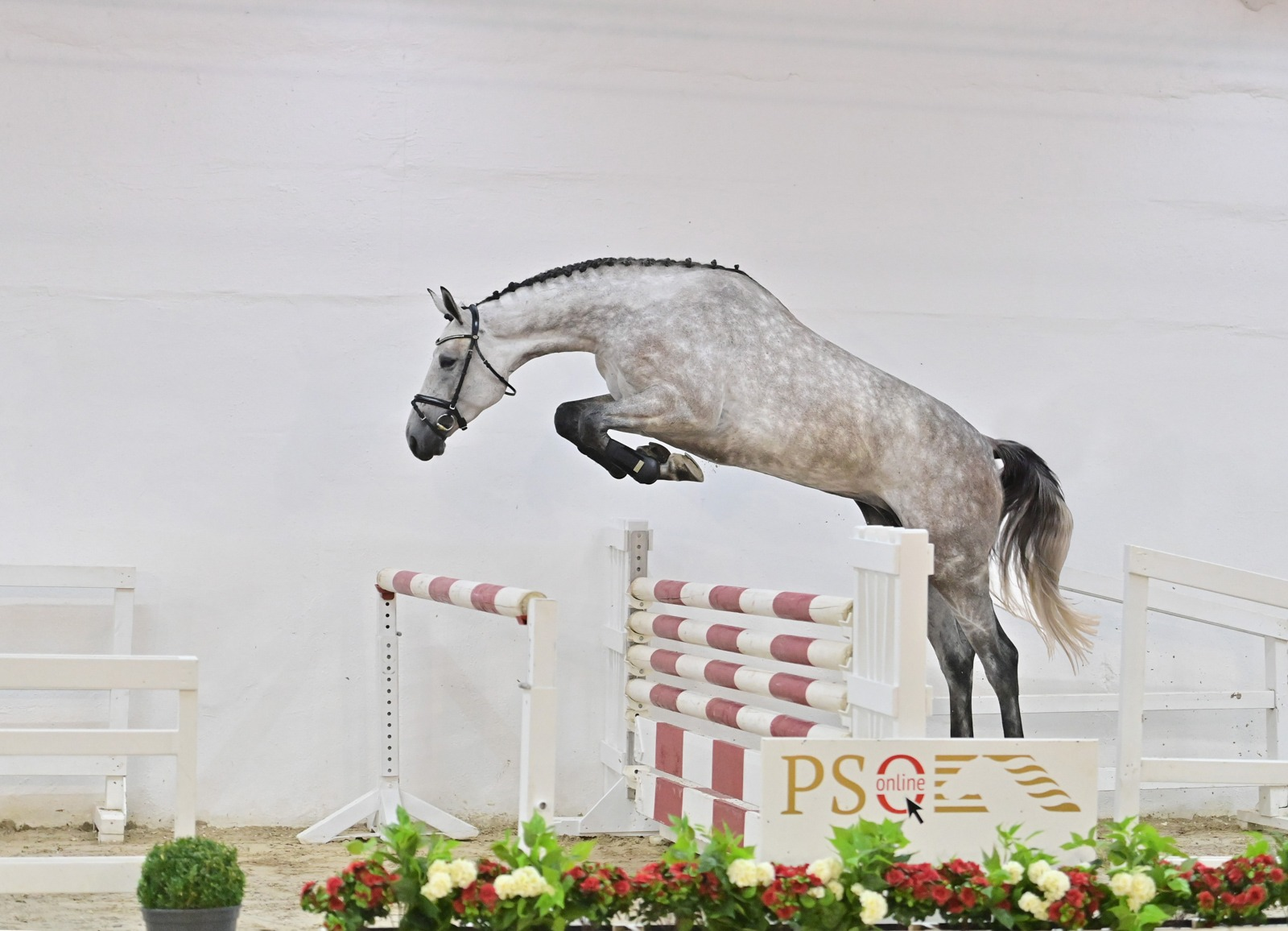 Belgian buyer pays 80,000 euros for four-year-old Diasca Blue PS