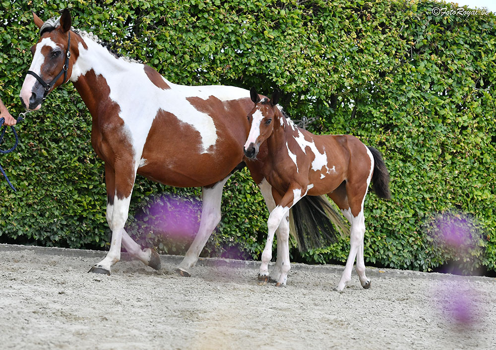 41.000 euro for full sister Halifax vh Kluizebos embryo