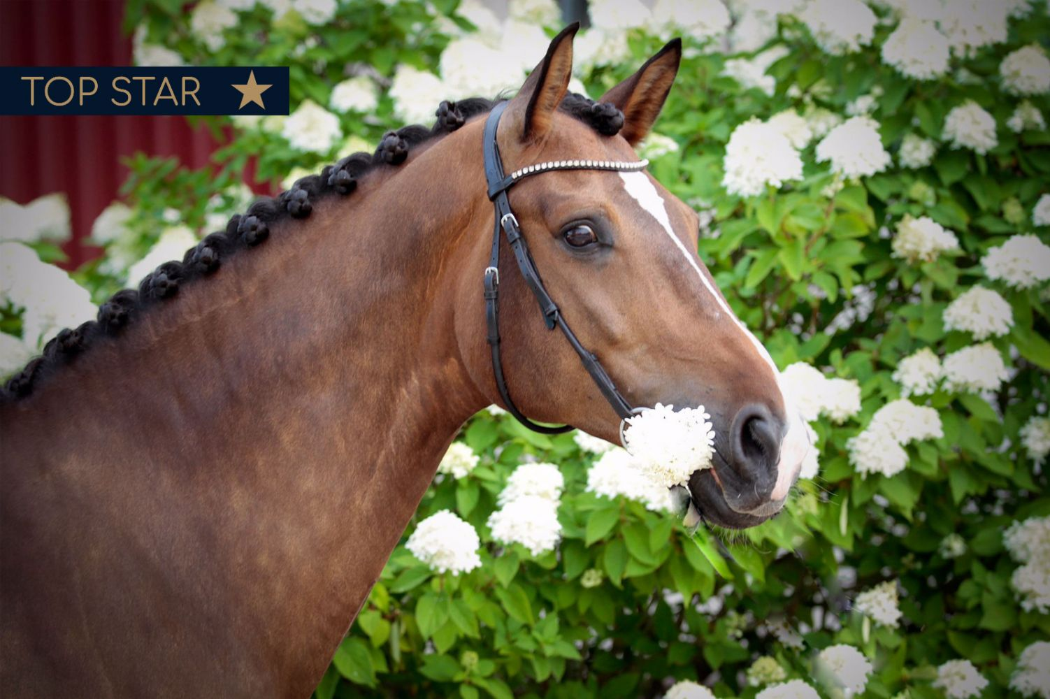 Baltic Horse Auction: A new and rising destination for quality horses