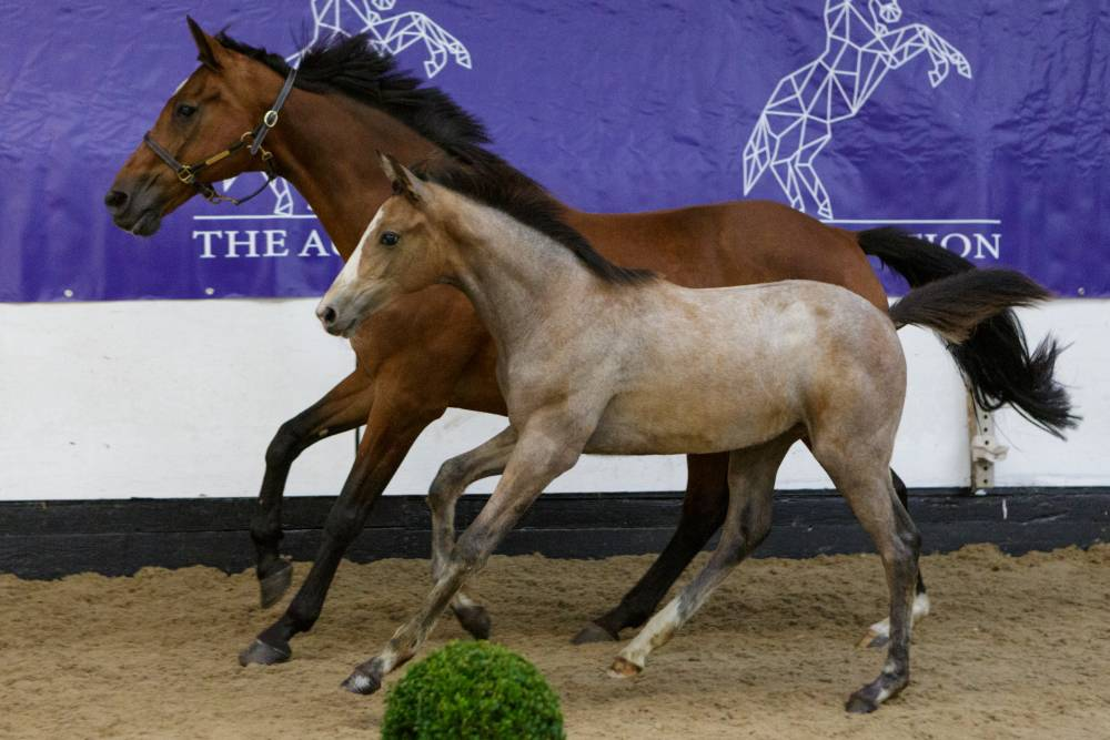 A.D.-Auction: Get to know the Babes family and their North Star Nisty Blue, a real eye catcher!