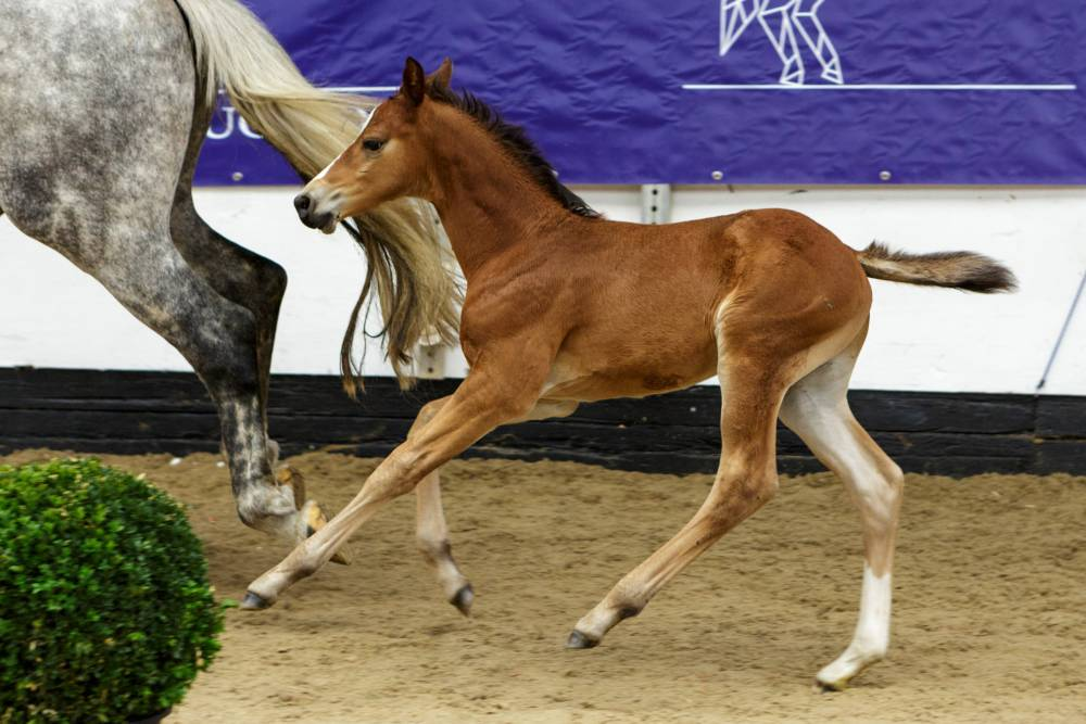 Meet Wrenwood Stables who is offering their best horses in the Celtic Collection!