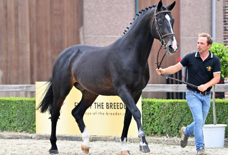 Former top stallion Comme d'Api vd Hacienda moves to the Netherlands for 52,000 euro