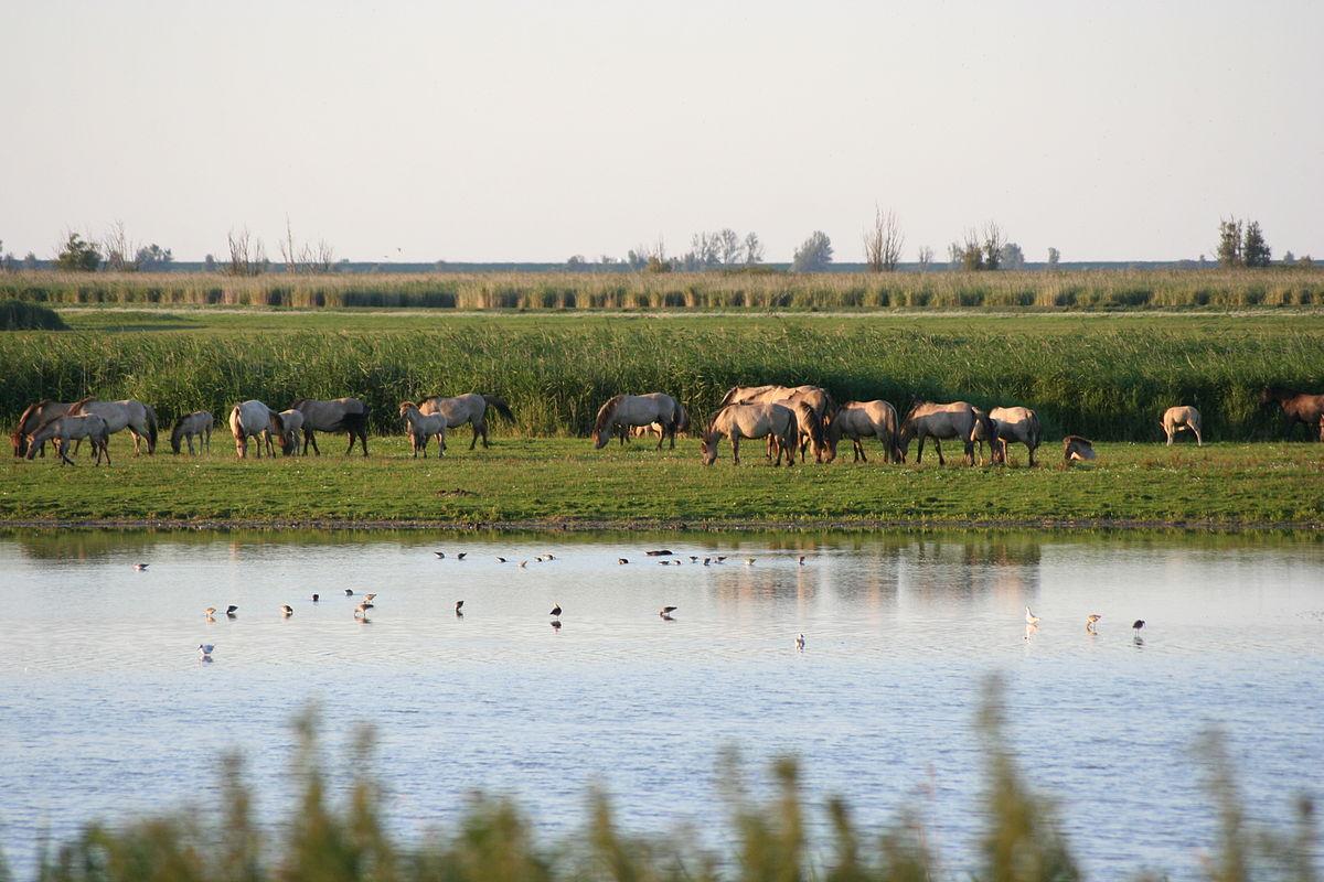 Eerste 50 Konikpaarden losgelaten in Wit-Rusland